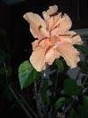 Hibiscus133x100